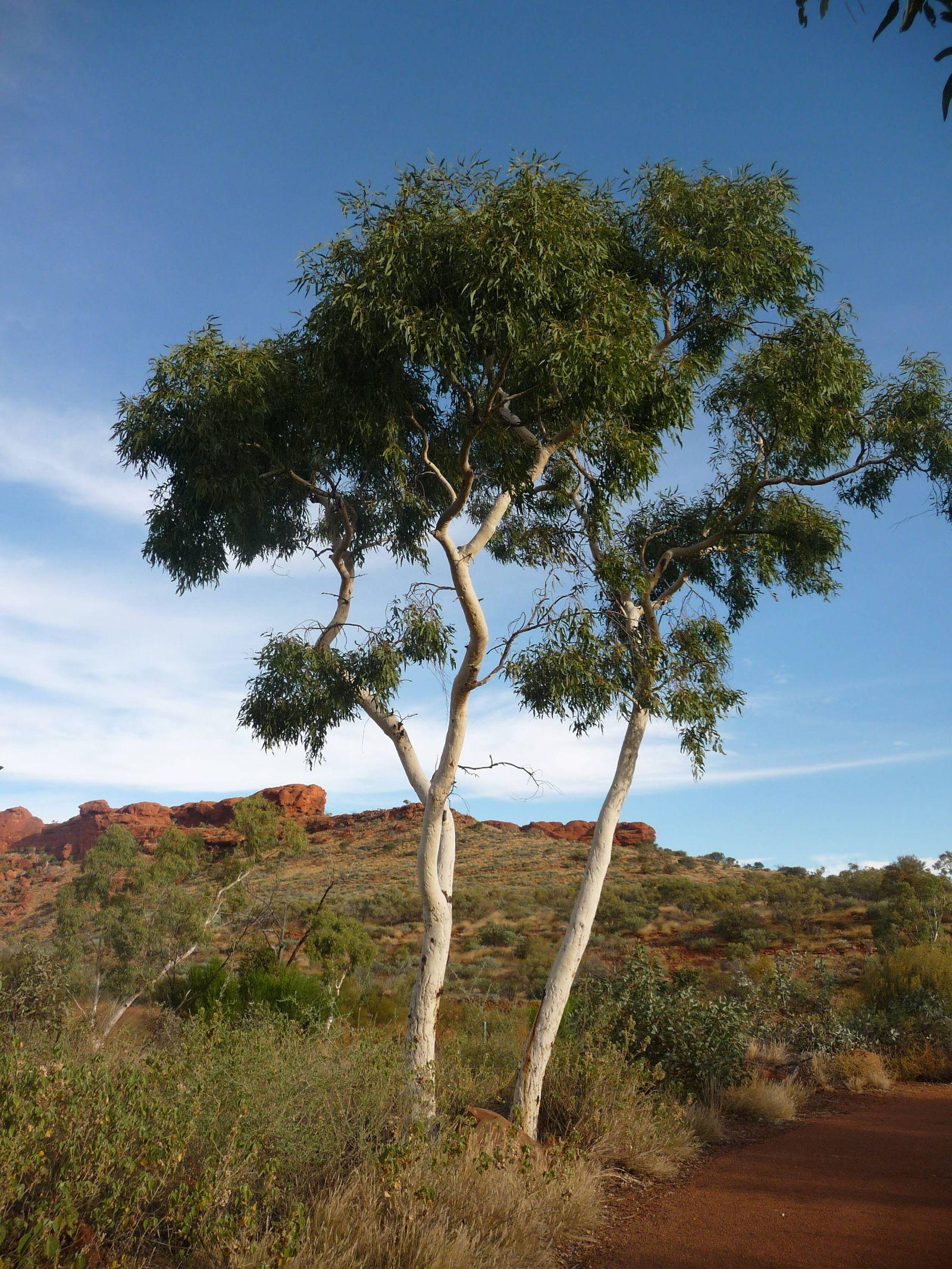 EINMALIGE VERWENDUNG Eukalyptusbaum / Eukalyptus globulus