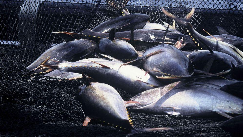 Golf von Mexiko: Ölpest macht Thunfisch zu schaffen