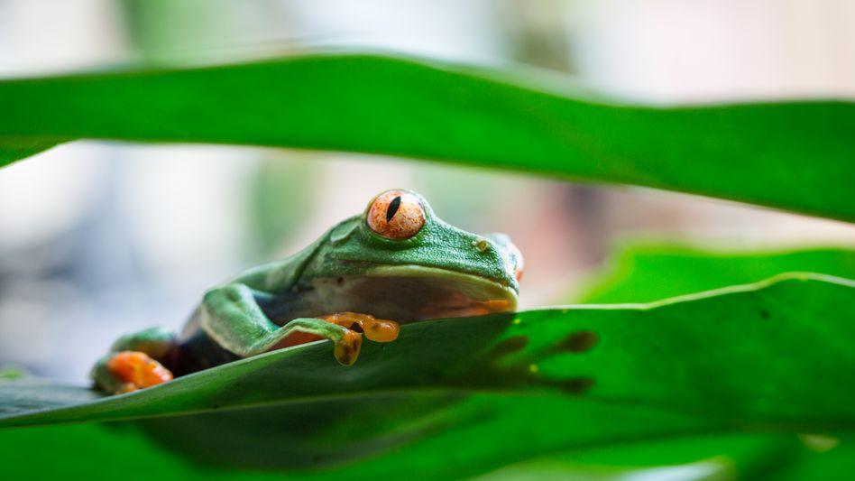 Ein Frosch im Tortuguero-Nationalpark in Costa Rica