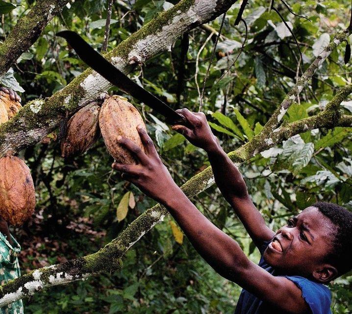 Auf einer Kakaoplantage in einem Dorf in der Elfenbeinküste erntet ein Junge mit einer Machete die großen Früchte, in denen die Kakaobohnen stecken