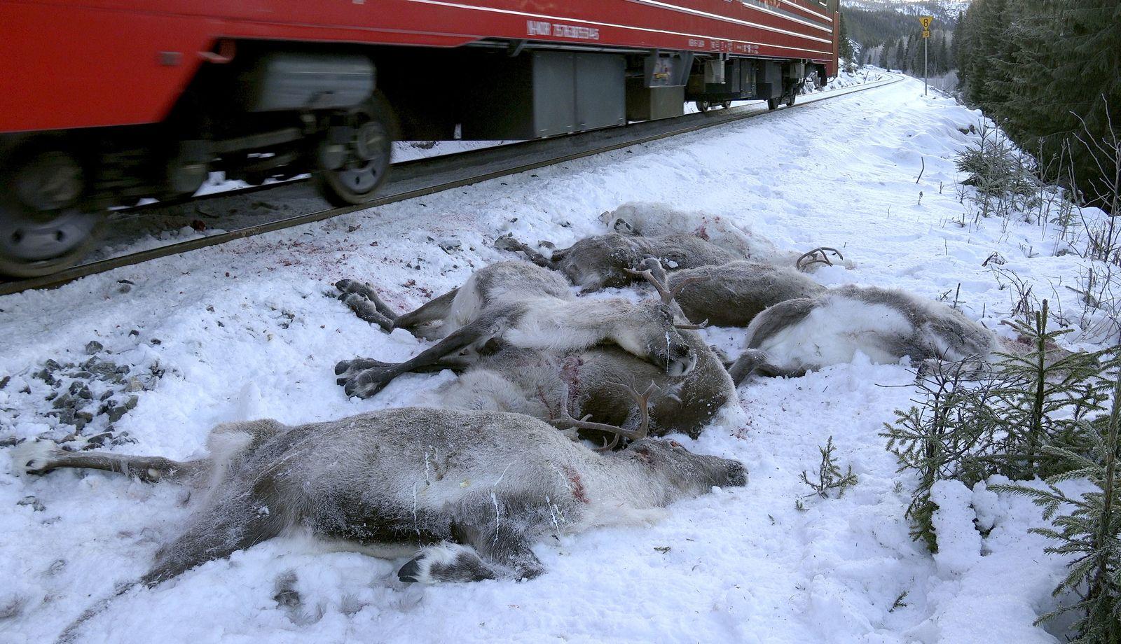 Rentiere von Zug getötet