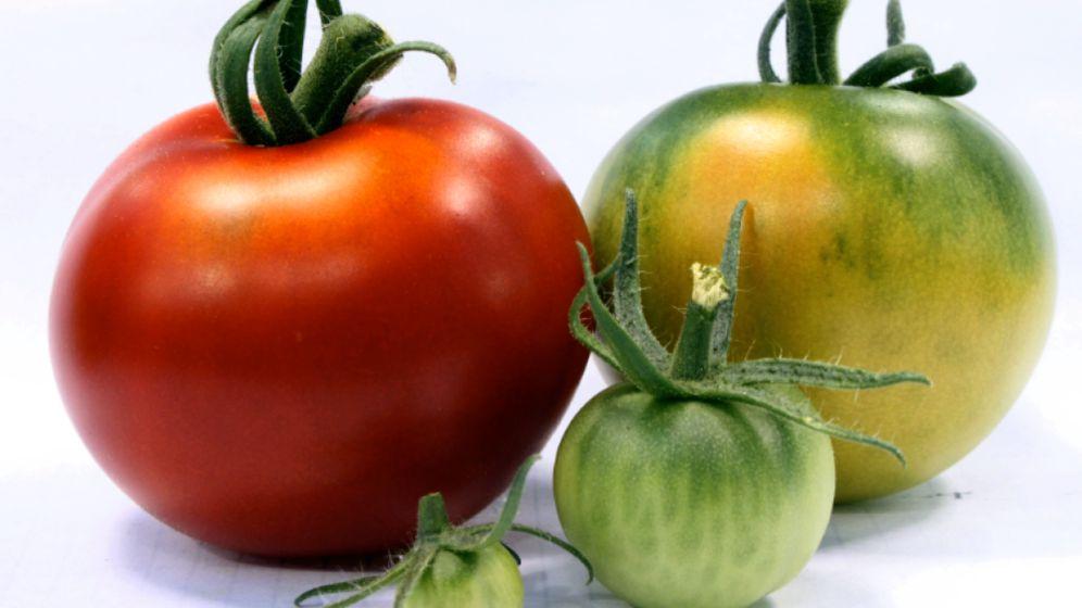 Tomatenzucht: Farbe top, Geschmack ein Flop