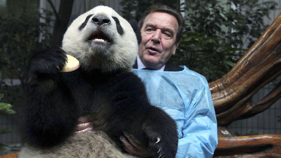 Former German Chancellor Gerhard Schröder hugs a giant panda during a visit to China.