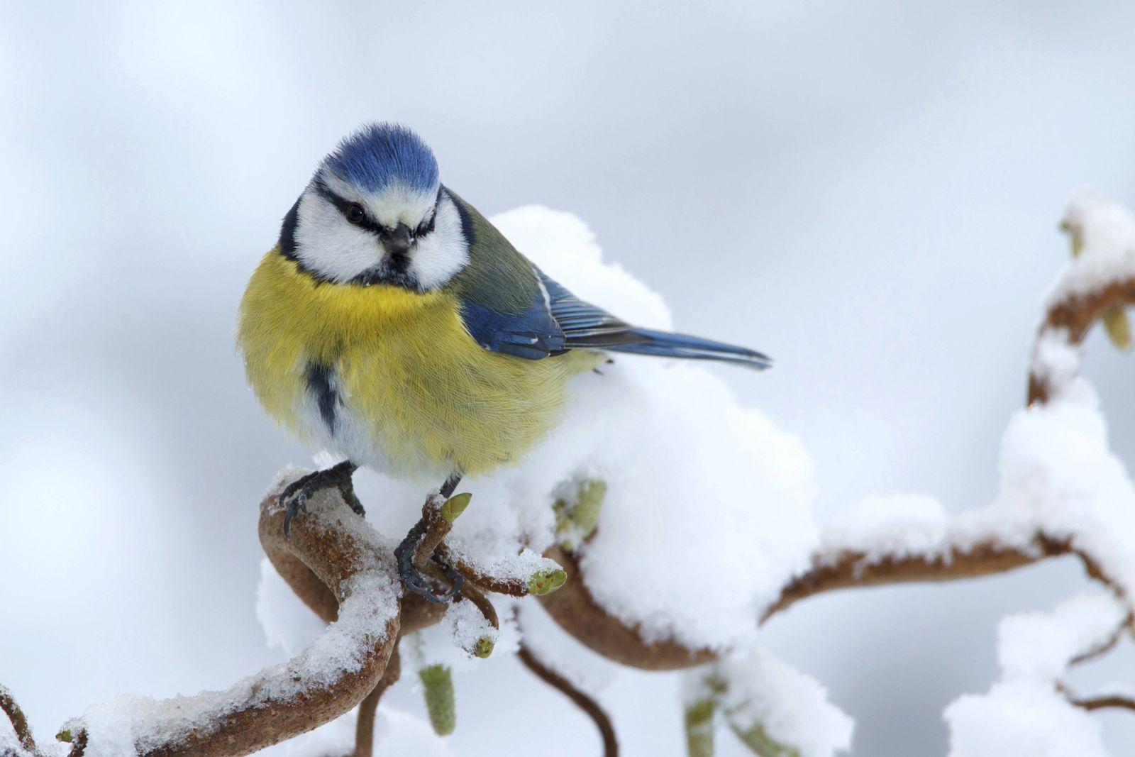 Blue tit sitting on snowy curl hazel Netherlands PUBLICATIONxINxGERxSUIxAUTxONLY Copyright LisztxC
