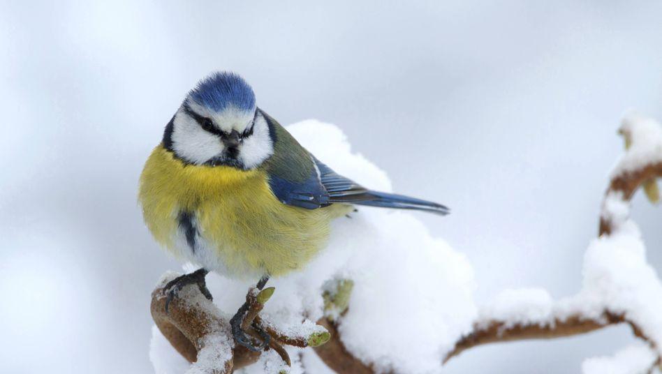 Blaumeise im Schnee: Bundesweit wurde ein Rückgang von 15 Prozent im Vergleich zum Vorjahr registriert