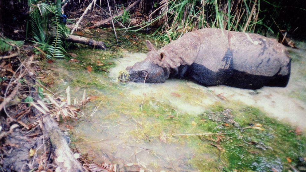Vietnam: Naturschützer beklagen Ende des Java-Nashorns