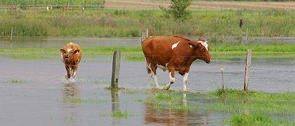 Kuh an elektrischem Weidezaun: Unermesslichen Respekt