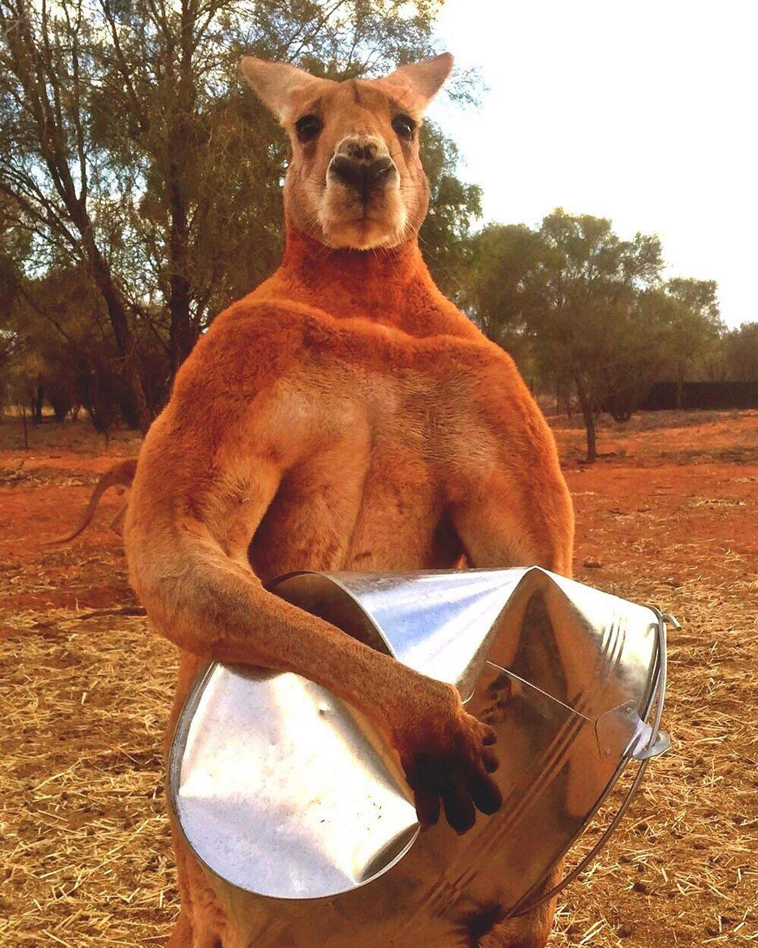 EINMALIGE VERWENDUNG «Roger» das Känguru