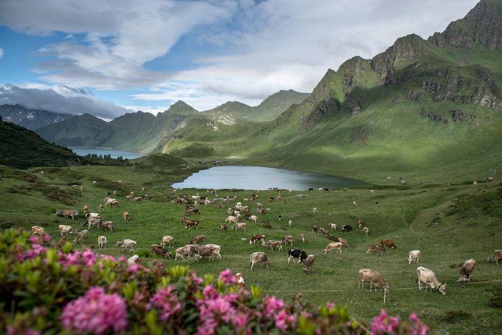 Kühe auf der Piora-Alp im Kanton Tessin (Symbolbild)