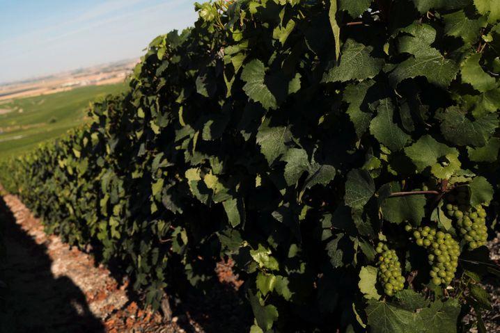 Trauben an einem Rebstock bei Avize: Ausgangsstoff für hochwertigen Champagner