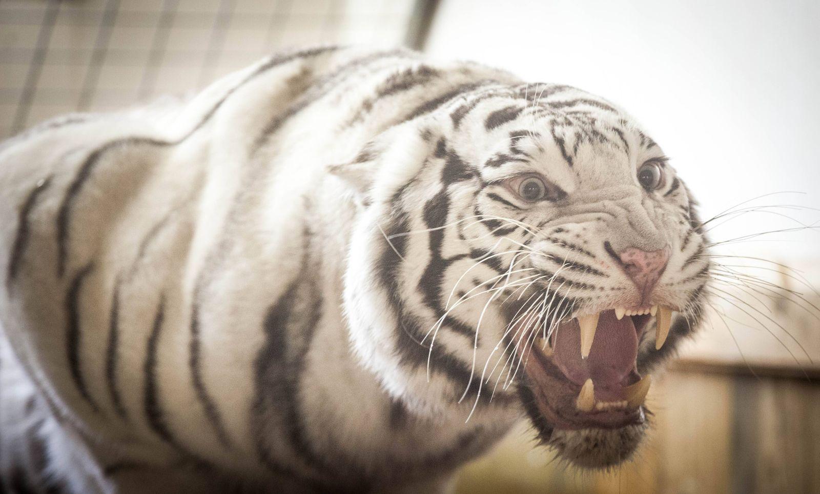 Die drei Tiger von Andre Sarrasani am Wiener Platz in Dresden