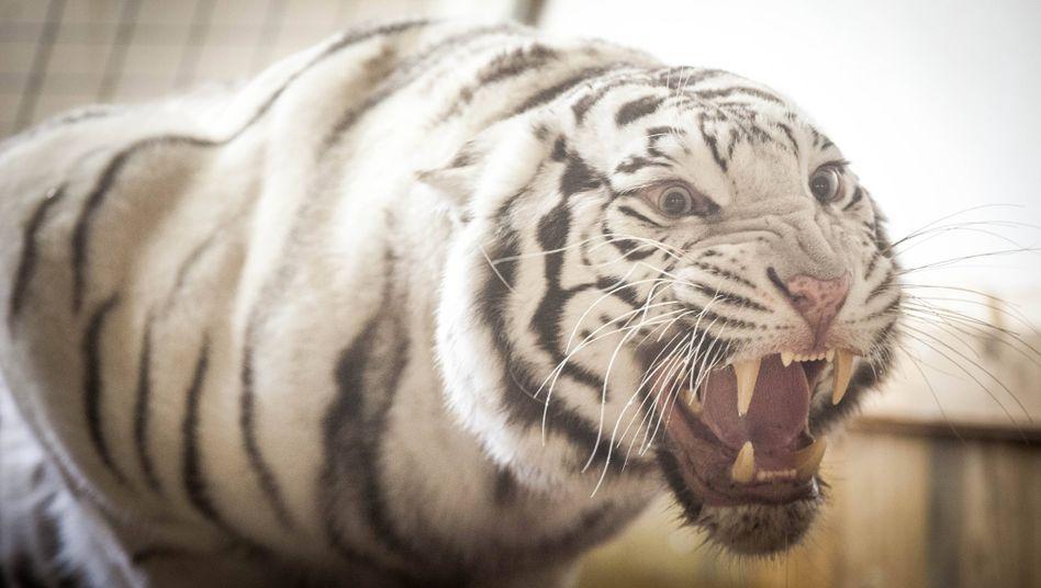 Einer der weißen Tiger des Zirkusdirektors André Sarrasani(Archivbild)