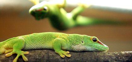 Geckos: Haftsystem wird erst ab zehn Grad Steigung aktiviert