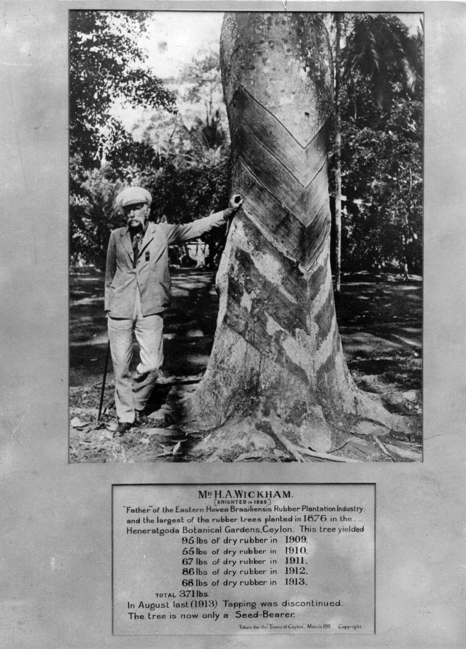 EINMALIGE VERWENDUNG Largest Rubber Tree