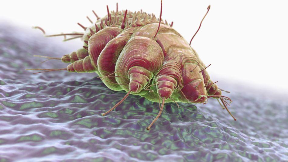 Krätzmilbe Sarcoptes scabiei (Illustration): Das Spinnentier kommt weltweit vor