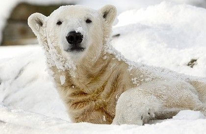 Cute Knut: But will the popular polar bear find amore with his new Italian companion?