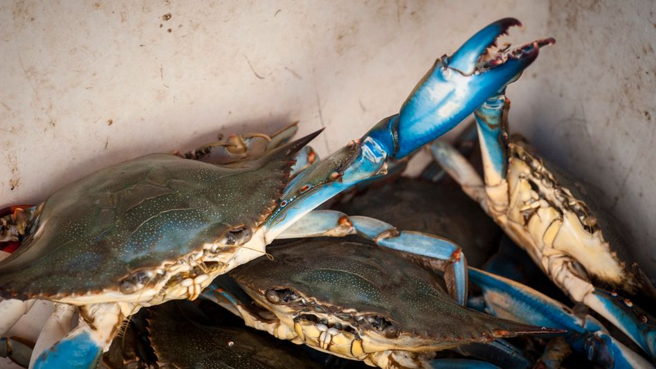 Blaukrabben fressen alles: Pflanzen, Fische und Muscheln