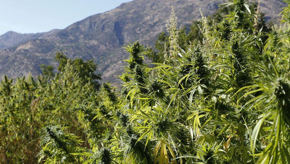 Cannabispflanzen einer Plantage in Marokko