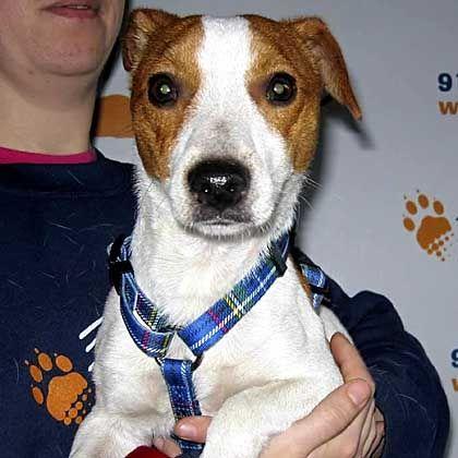 """Wiedergefundener Terrier """"Snowy"""": Selbst ein Hundeweibchen konnte den Ausreißer nicht anlocken"""