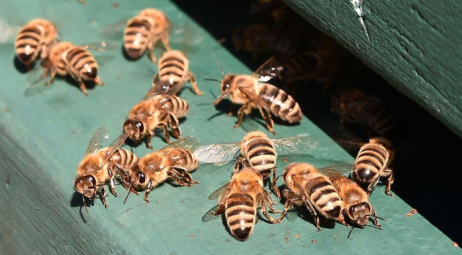 Bienen in Brandenburg: einfache Subtraktion und Addition möglich