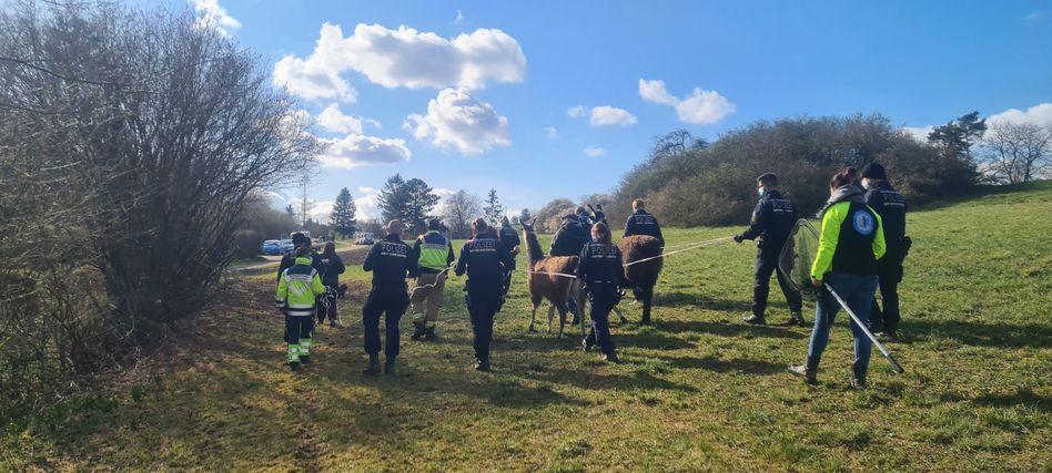 Abgef??hrt: Polizisten und Mitarbeiter der Tierrettung haben zwei Lamas eingefangen