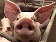 Ob beim Bauern im Stall oder beim Lidl im Regal: Schweinereien gibt's überall!
