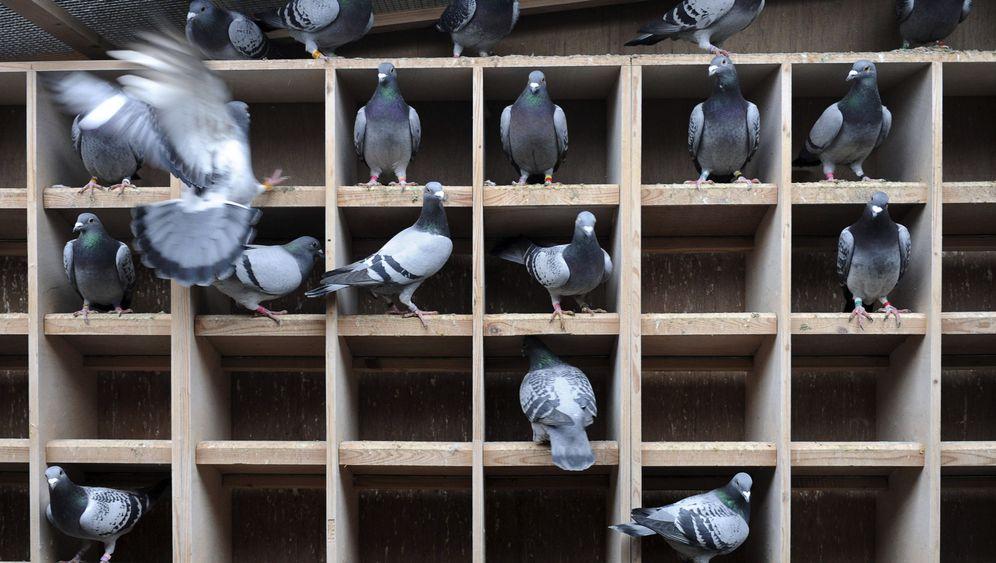 Gedopte Tauben: Nur mal kurz den Schnabel pudern