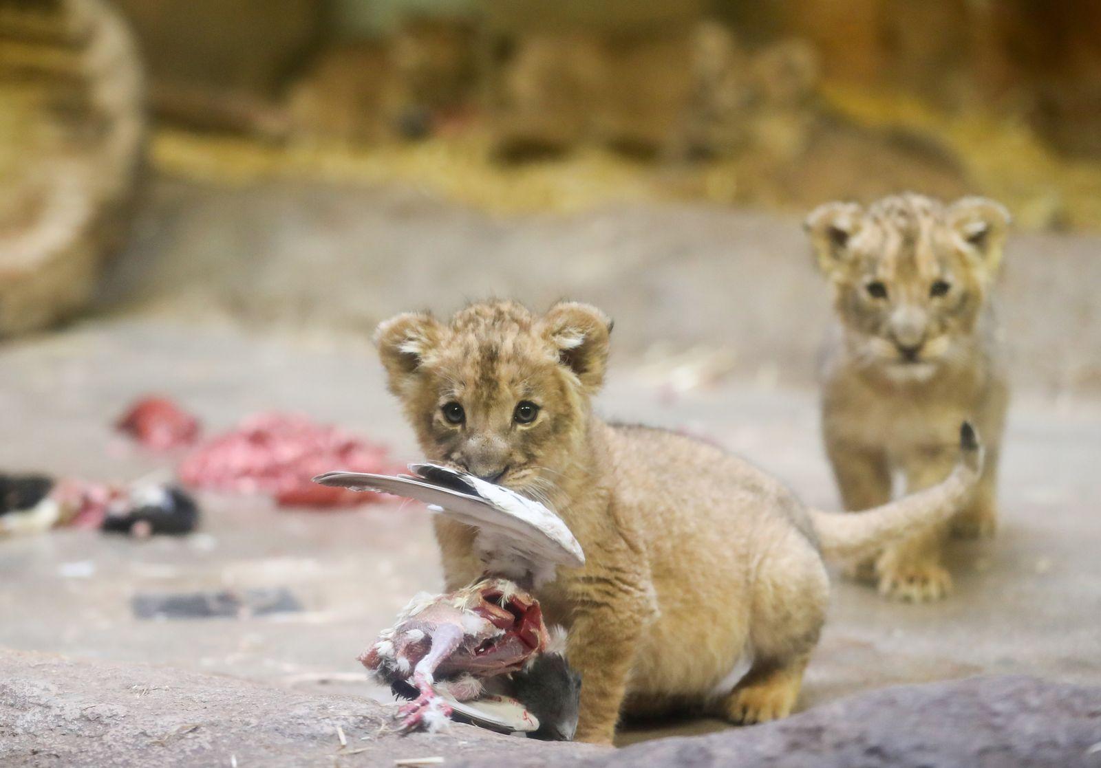 Fünf Löwenbabies im Leipziger Zoo