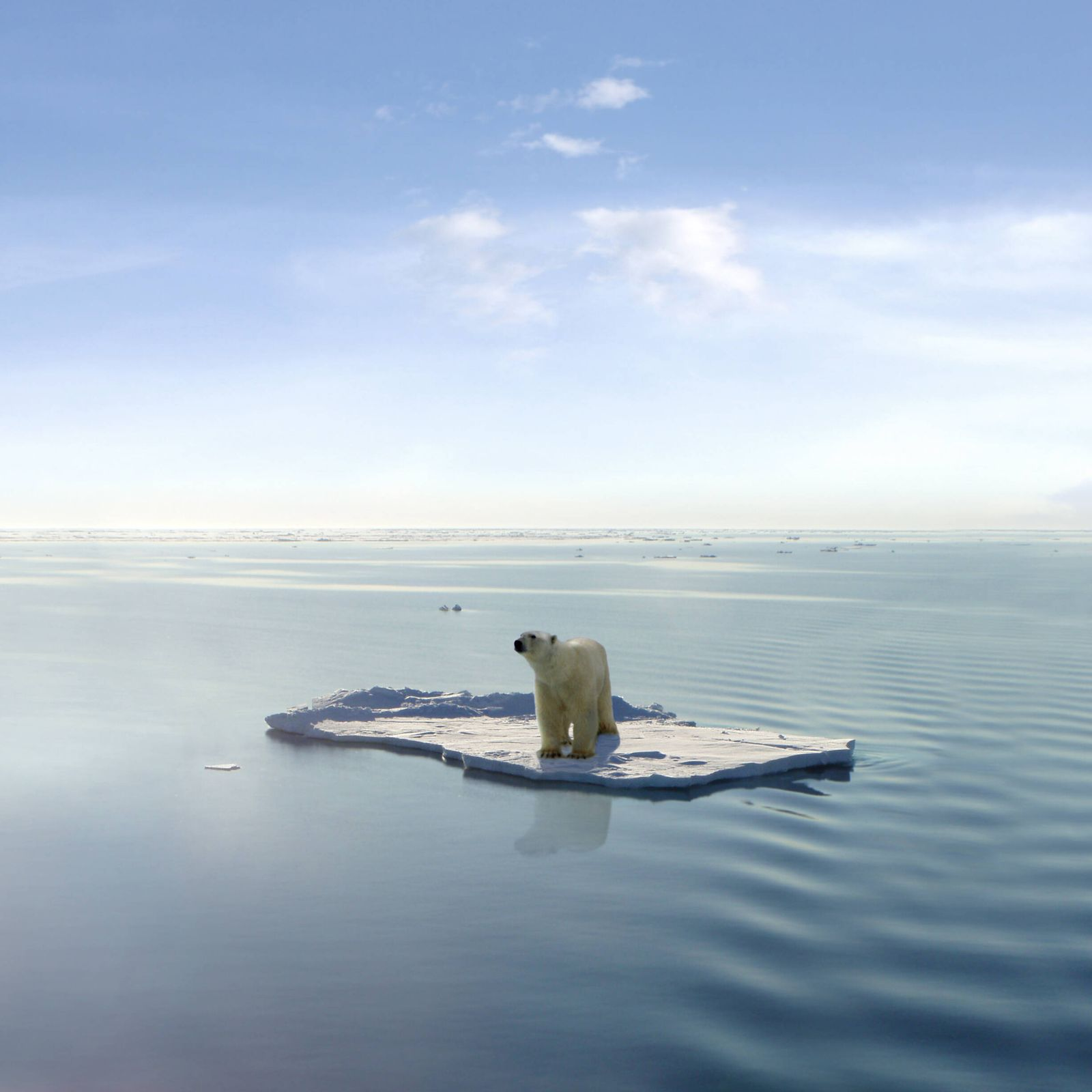 The last Polar Bear A polar bear managed to get on one of the last ice floes floating in the Arctic sea. Due to global w