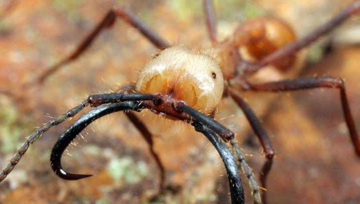 Treiber-Ameisen: Raubzug in Scharen