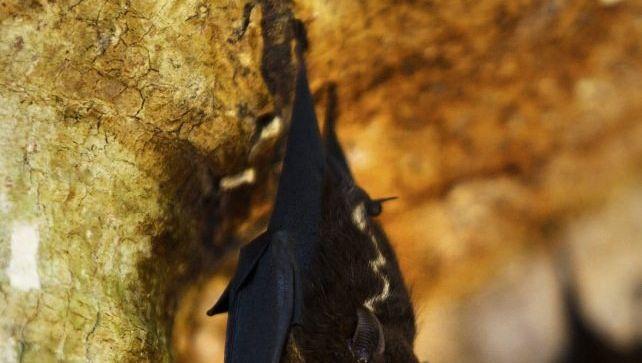 Forschungsobjekt Große Sackflügelfledermaus