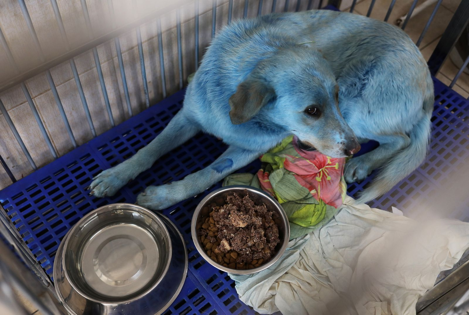 A dog with blue fur is pictured inside a cage ataveterinary hospital in NizhnyNovgorod
