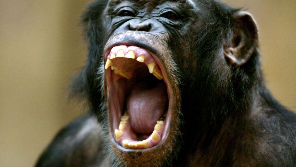 """Wissenschaftliche Erkenntnis: """"Wilde Affen trinken, wenn sie durstig sind"""""""