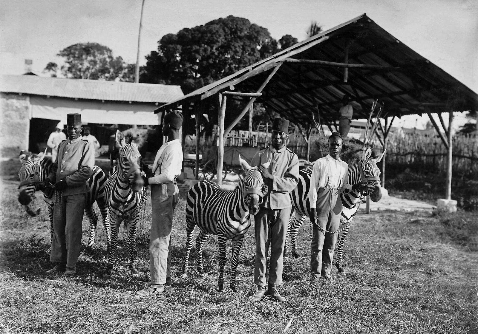 Zebrazucht in Deutsch-Ostafrika, 1904