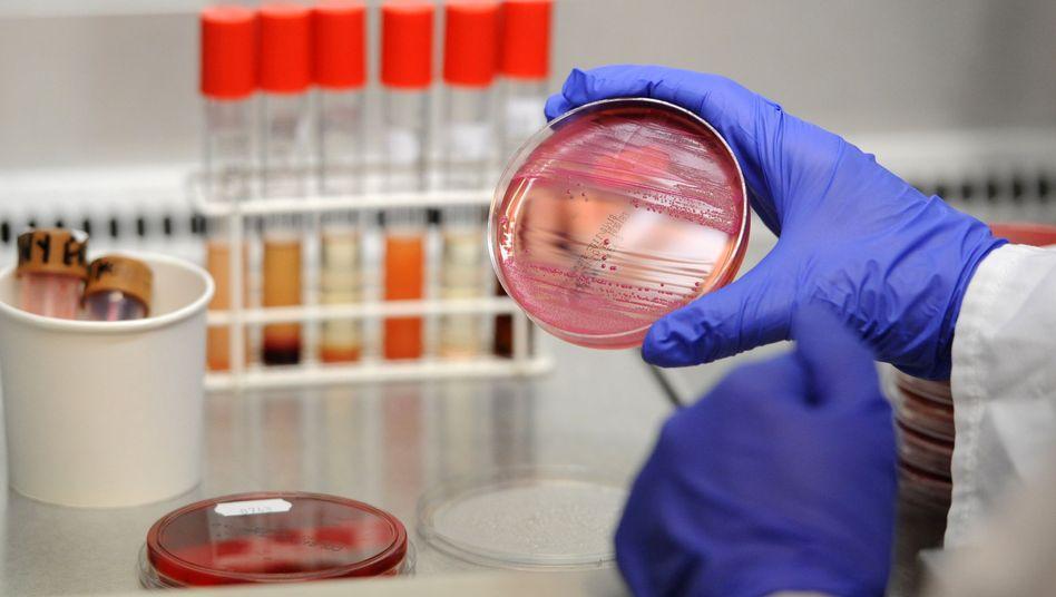 Ehec-Bakterien auf einer Petrischale: Infektion kann schwere Nierenschäden verursachen