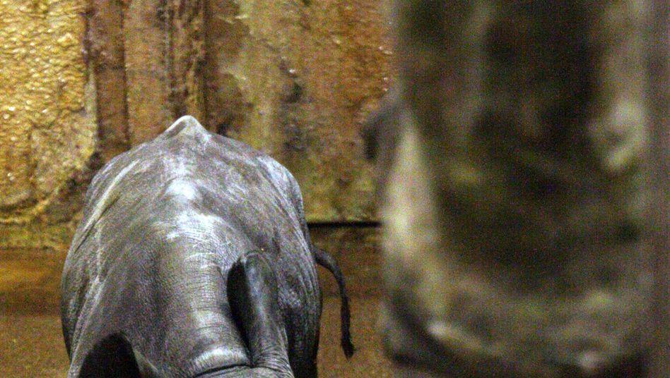 Nashorn-Nachwuchs im Zoo Leipzig: Eine 34 Kilo schwere Attraktion