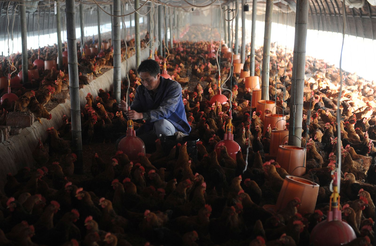 Worker adjusts a water dispensing device at a chicken farm in Changfeng county
