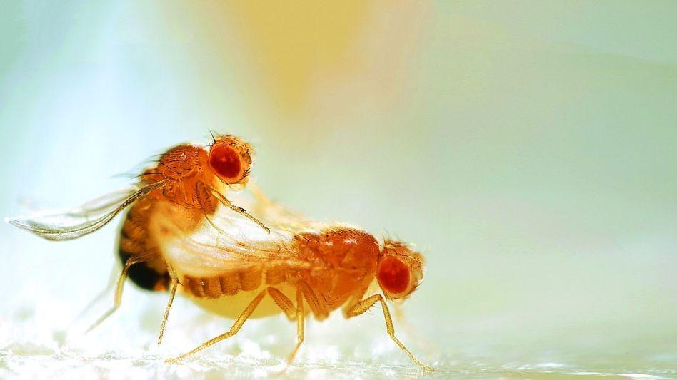 Kopulierende Fruchtfliegen