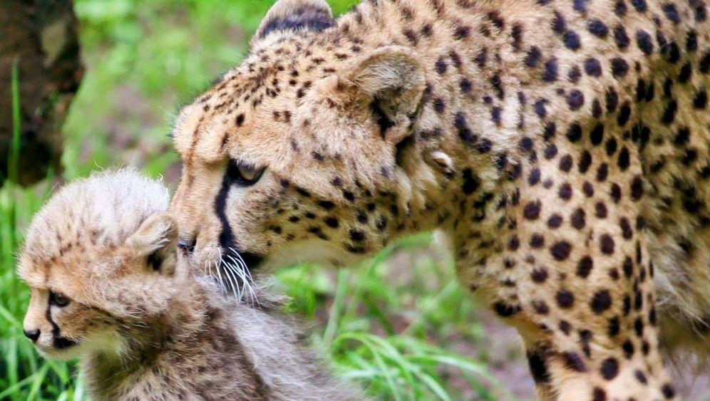 Artenschutz: Geparden in Gefahr