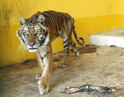 Mandor, der Tiger, zieht seine Runden in seinem Käfig