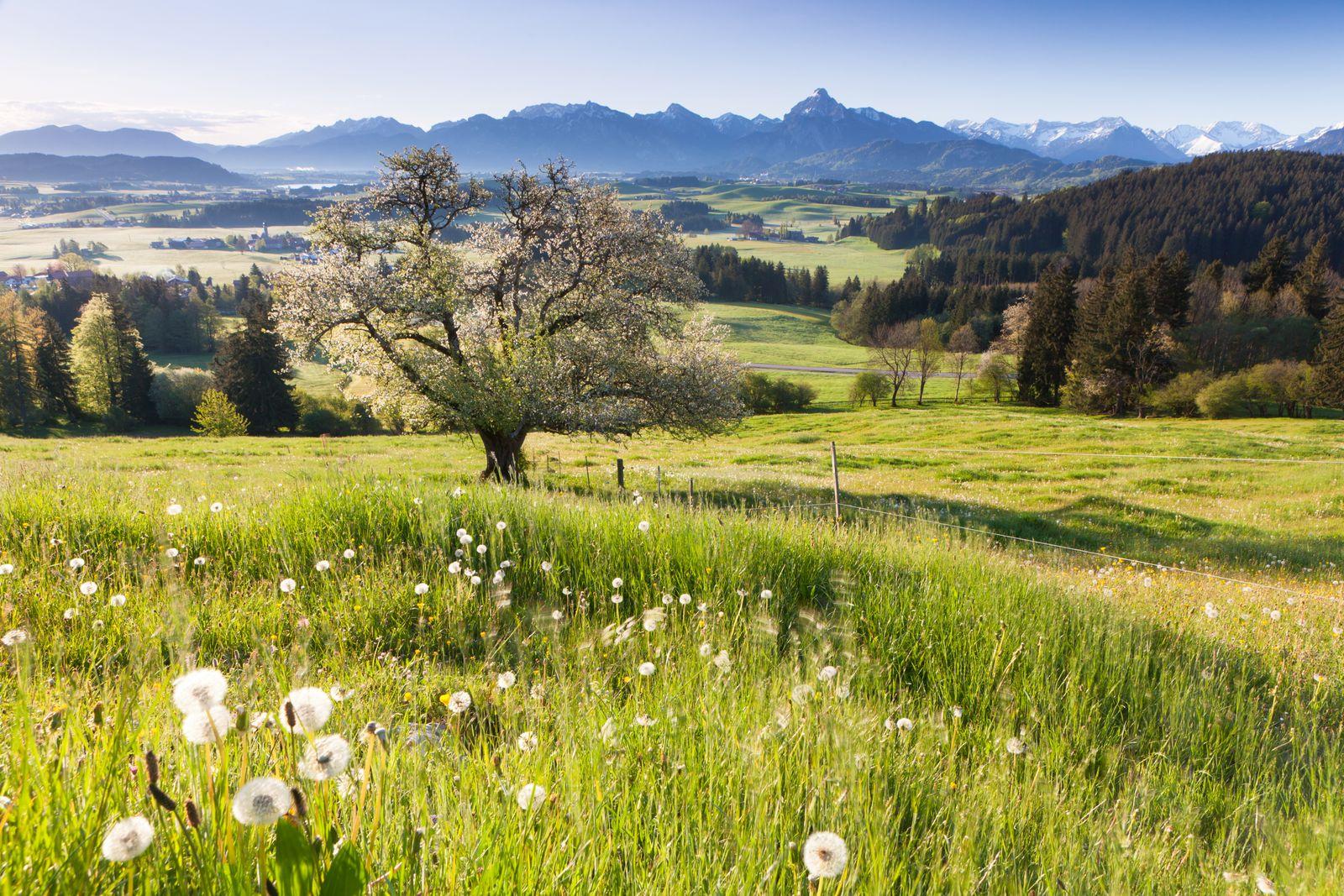 Blooming apple tree in a meadow, Bavaria, Germany