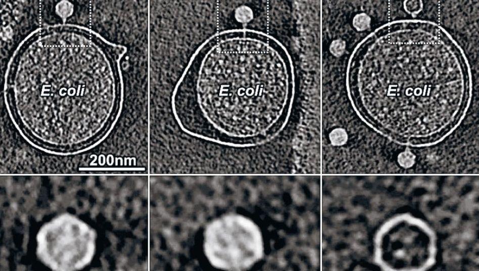 Infektion einer Zelle (u.: vergrößertes Virus)