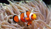 """Warmer Ozean macht """"Nemo"""" zu schaffen"""