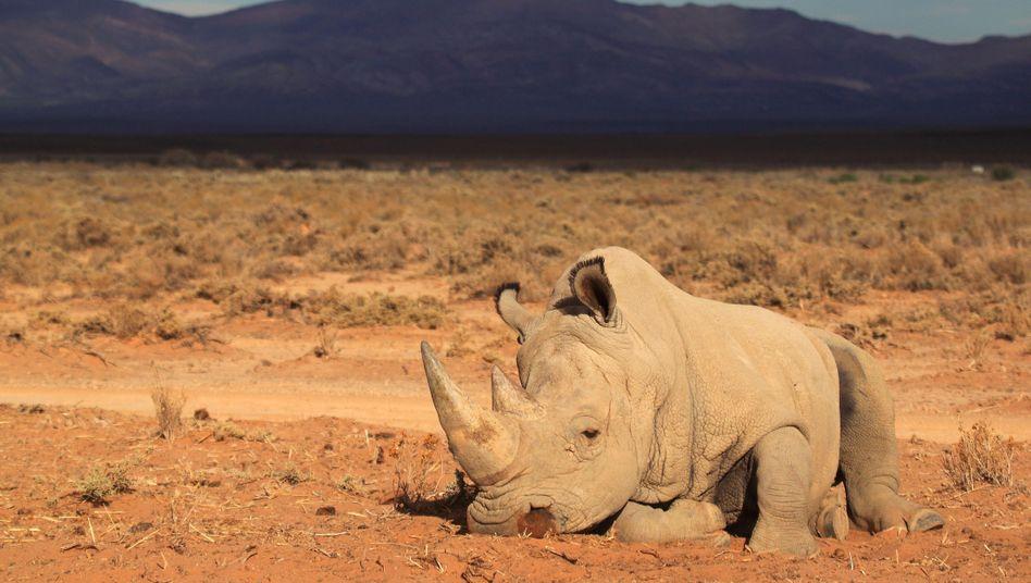 Nashorn in Südafrika: Mehr als tausend Tiere wurden 2014 von Wilderern getötet