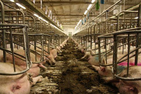 Kastenstände in der Schweinehaltung