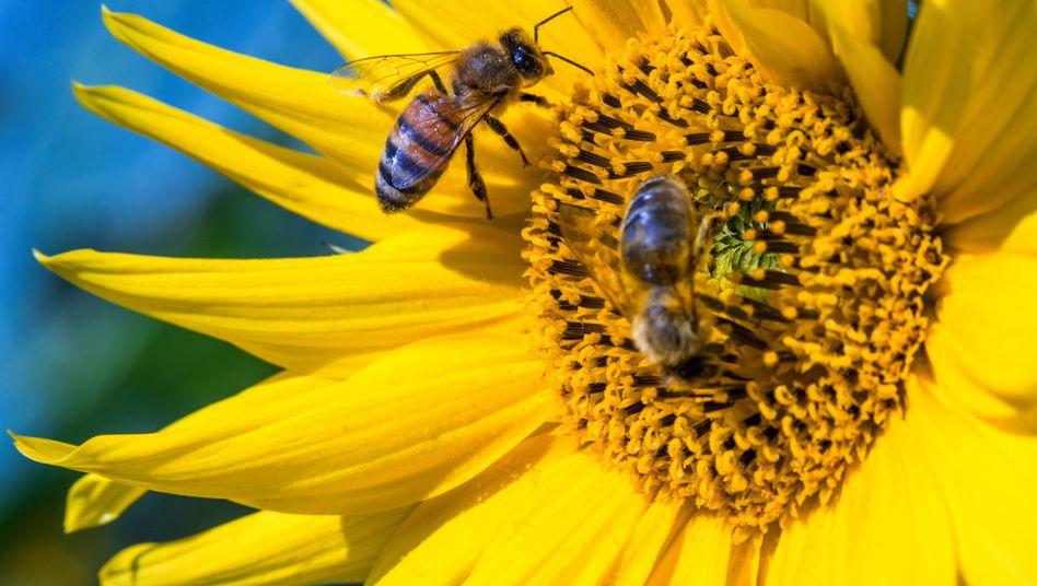 Insekten sind wichtige Bestäuber