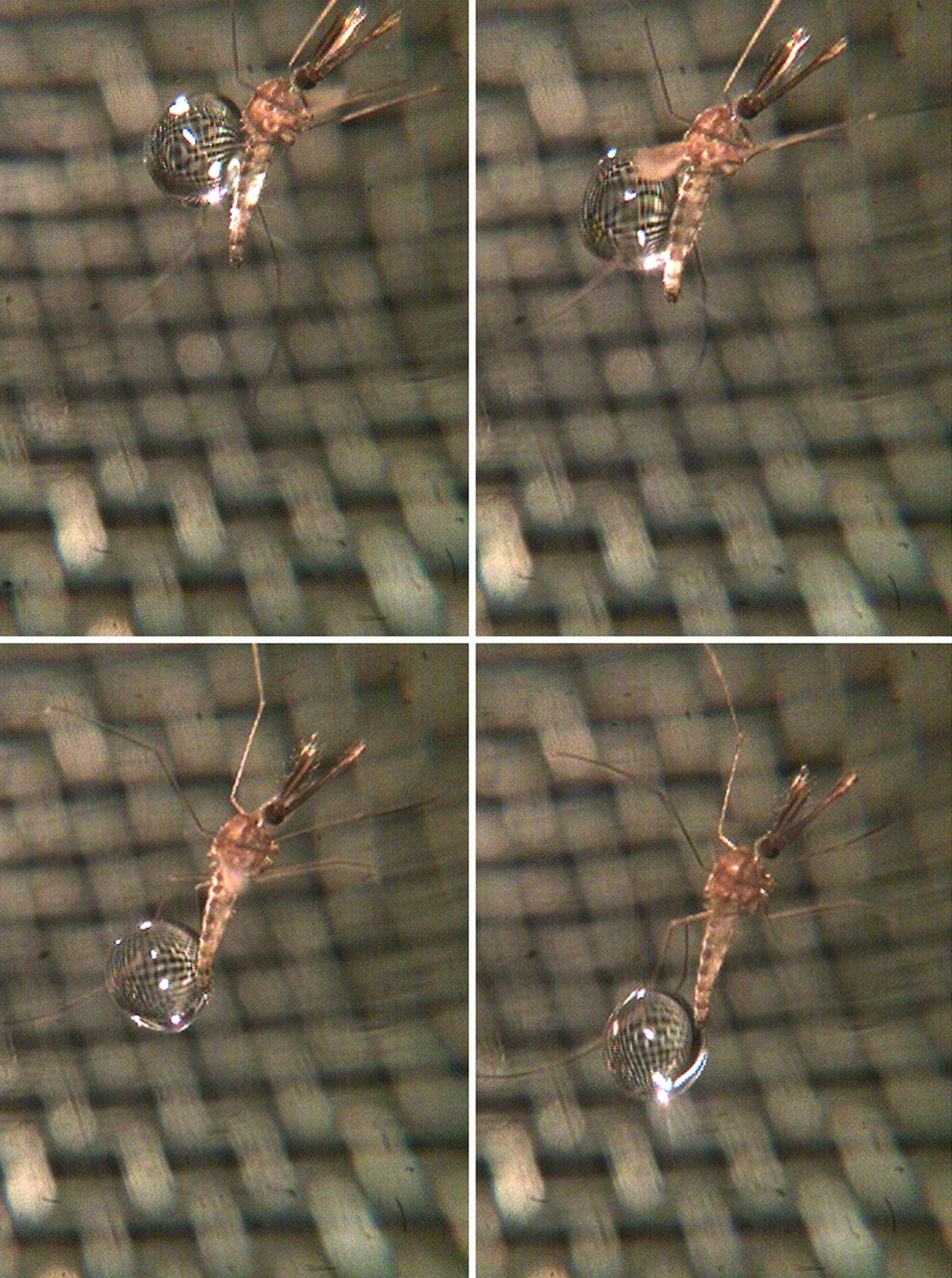 Stechmücken trotzen im Regen extremen Krafteinwirkungen