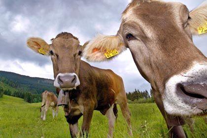 Kuhweide: Kargere Bedingungen, gesündere Milch