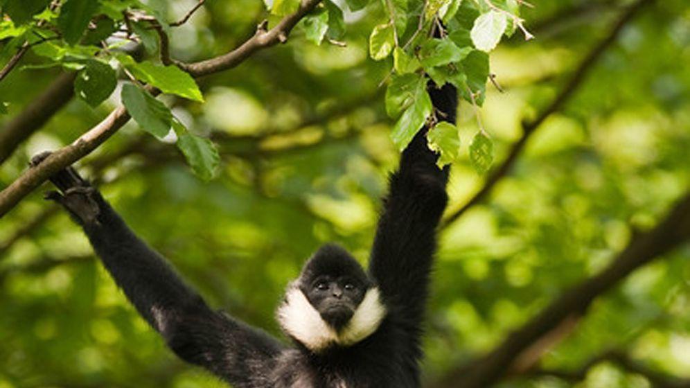 Schopfgibbons: Singende Affen verzücken Umweltschützer