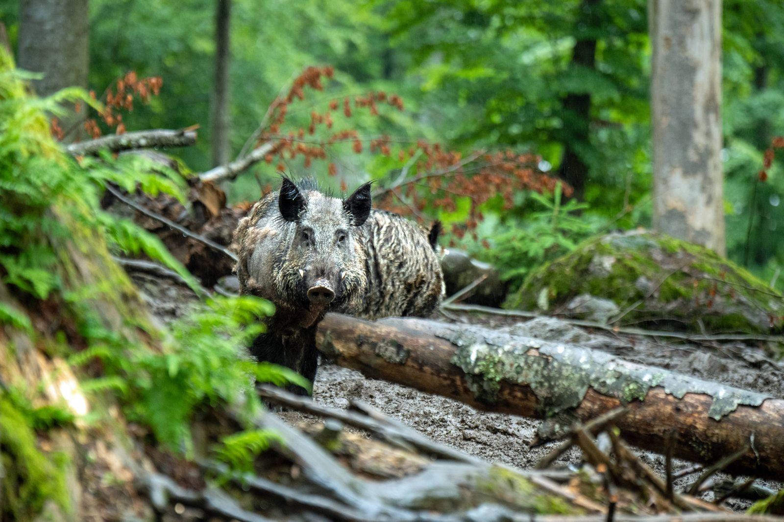 Wildschweine im Juni Jungf¸chse, F¸chse Wildschweine im Mischwald *** Wild boars in June Young foxes, foxes Wild boars i
